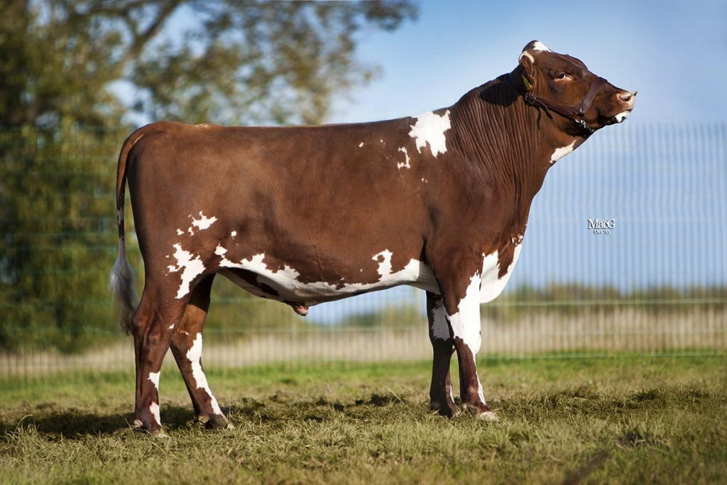Strickley Wiggo VG86